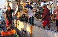 Los volúmenes de pesca de mero y negrillo a la baja