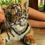 Tiger Kingdom - Tailandia