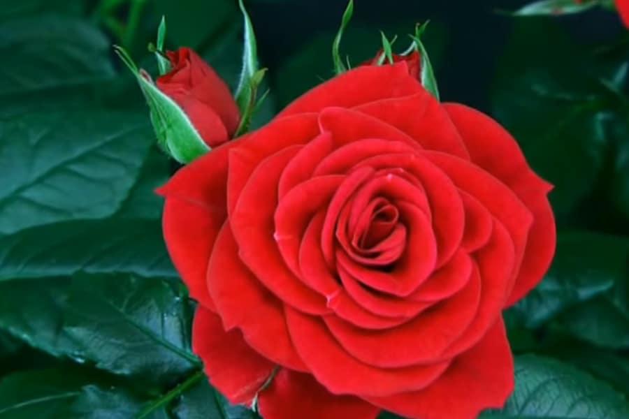 Cuándo y cómo podar la reina de las flores, La ROSA