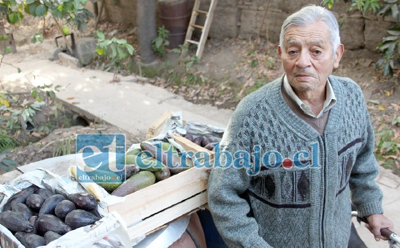 CASI EN BANCARROTA.- Don Luis Meza está desesperado, estas son las pocas paltas que le quedan a este agricultor de Santa María.