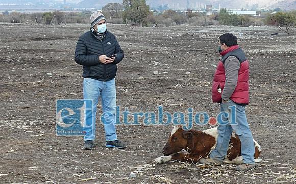 Fabián Herrera perdió dos vacunos en dos días, mientras un tercero fue gravemente herido y podría morir también.