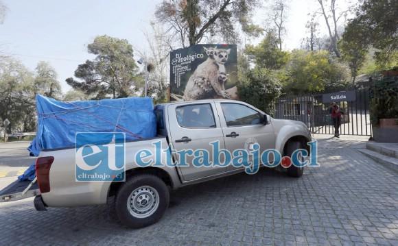 Funcionarios del SAG lo trasladaron hasta la clínica veterinaria del Zoológico Nacional, presentando dos proyectiles en el cuerpo además de diversas heridas por el presumible ataque de perros.