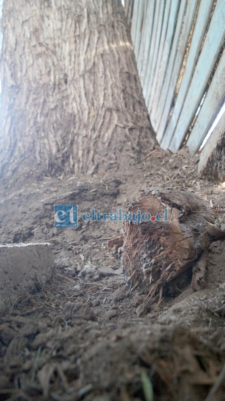 RAÍCES CORTADAS.- Las cámaras de Diario El Trabajo registran cómo algunas raíces del pimiento efectivamente fueron cortadas.