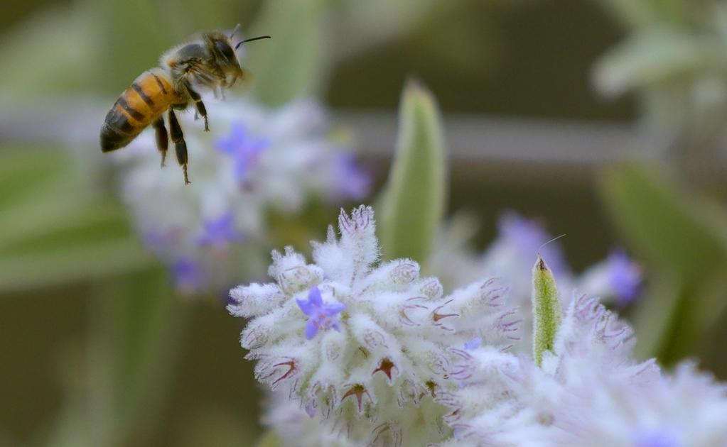 Ataque de abejas   El Universal