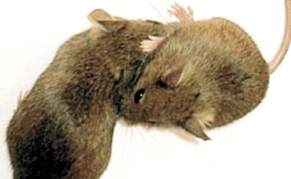 La falta de proteína acelera el envejecimiento en ratones