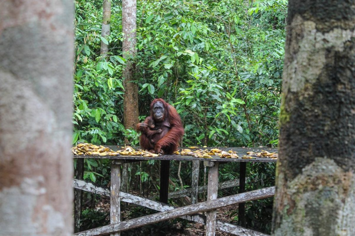 orangutanes-en-borneo-16