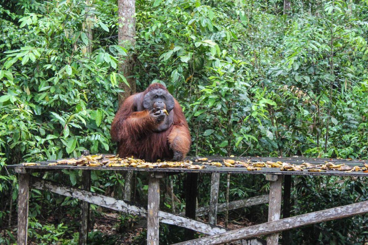 orangutanes-en-borneo-20