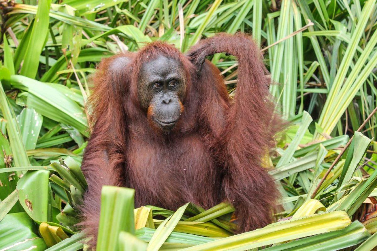 orangutanes-en-borneo-26