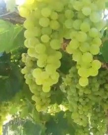 Vitis Vinifera - Variedad Torrontés Riojano