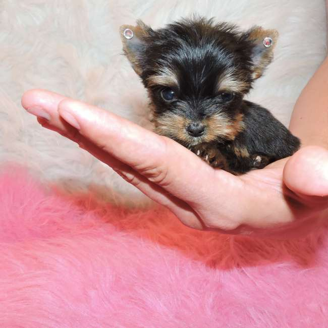 free small puppies near me teacup maltese puppies sale near me 1125