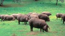 Resultado de imagen de cerdo andalucia