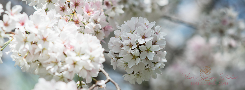 Cherry Blossoms, April 2013