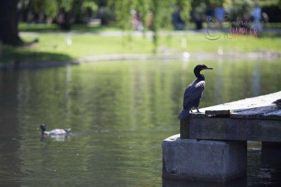 Bird in the City Garden Boston