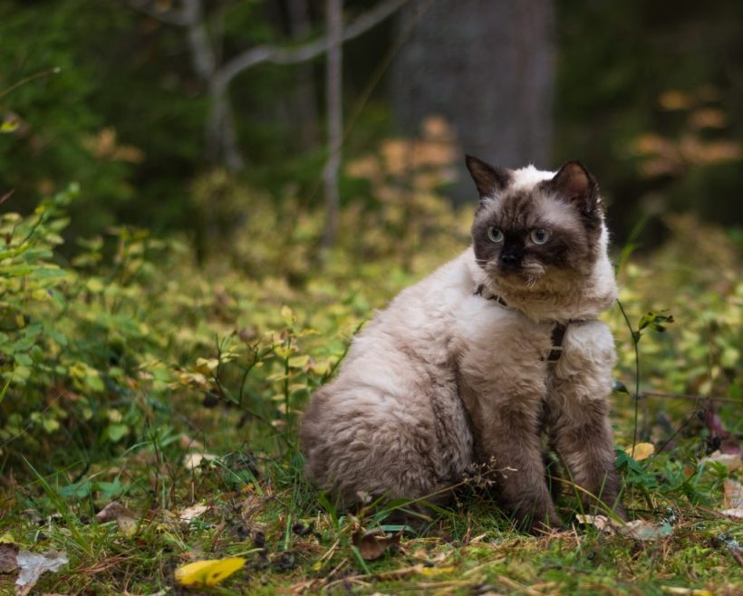 Selkirk rex shorthair in colorpoint 11 months old