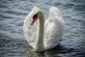 swan, mute swan, water bird
