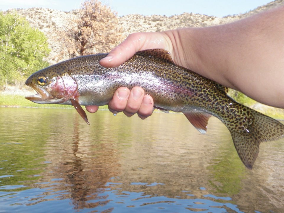 Big Hole River Rainbow.
