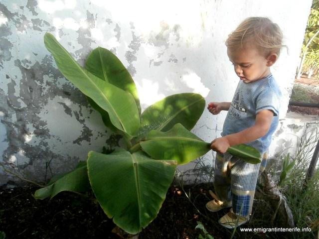 Plátano-ul e mai mic decât Yago, dar scoate o frunză pe săptămână și nu mai e mult până când îl va intrece și pe el și pe noi