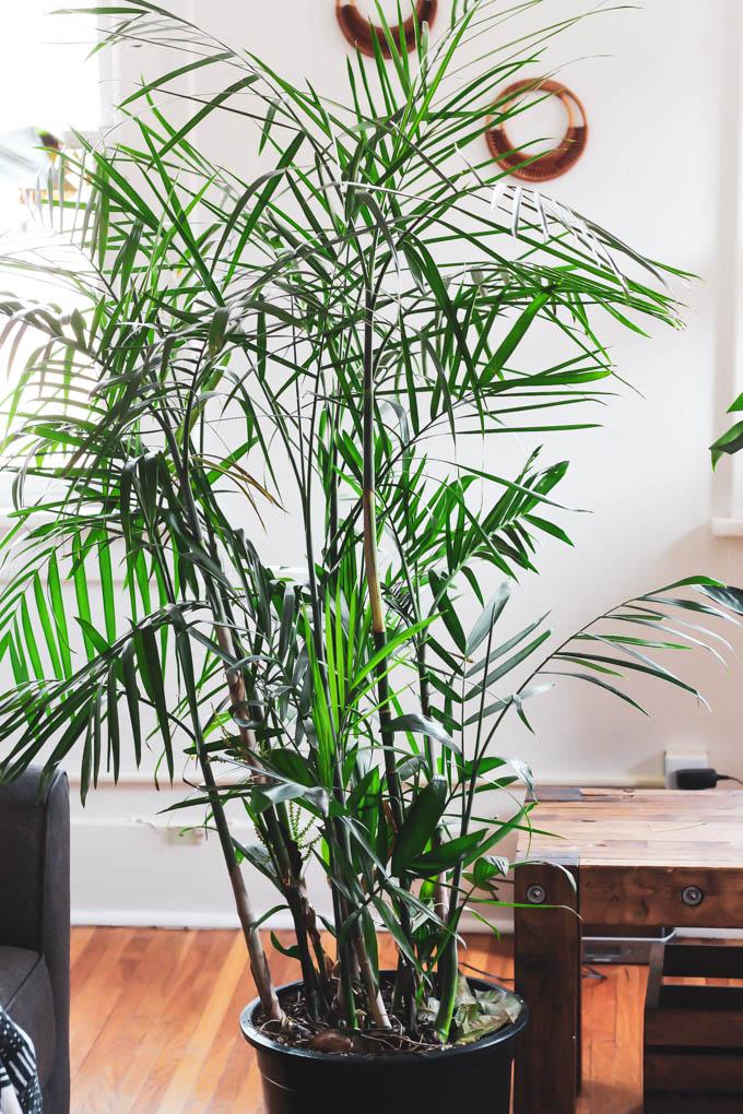 the best pet friendly houseplants emilie eats. Black Bedroom Furniture Sets. Home Design Ideas