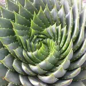 Aloe Or Agave