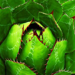 Agave Bright Green