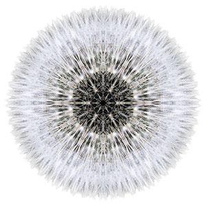 dandelion-head_dbookbinder