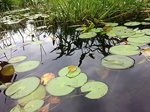 Lily pads on Danforth Ponds