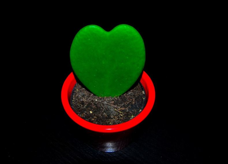 cactus corazon c
