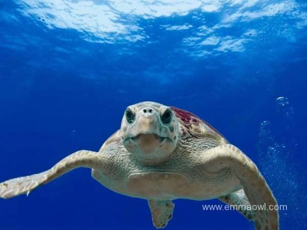 loggerhead-turtle-