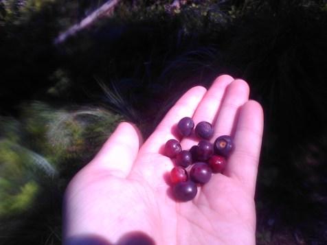 Huckleberries!