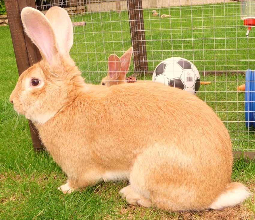 continental-giant-rabbit