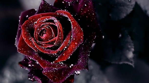 Rose-Wallpaper-16-610x343