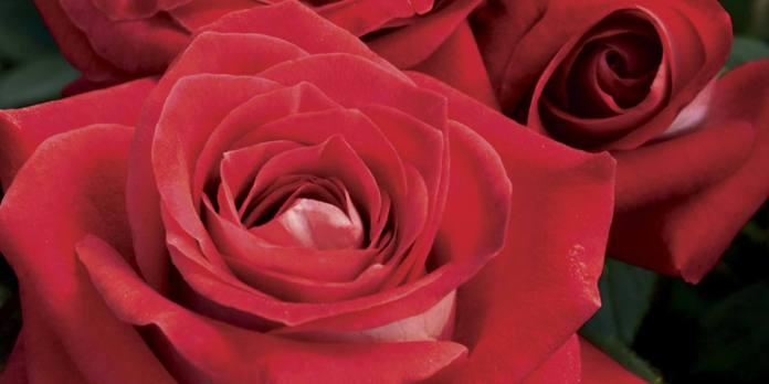 rose-760x380