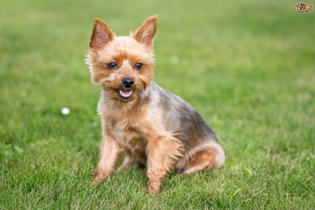 yorkshire-terrier-health-testing-and-genetic-diversity-5537b5d9562cd