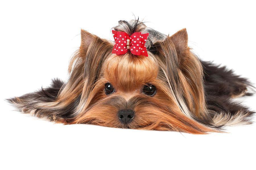 yorkshire-terrier-konstantin-gushcha