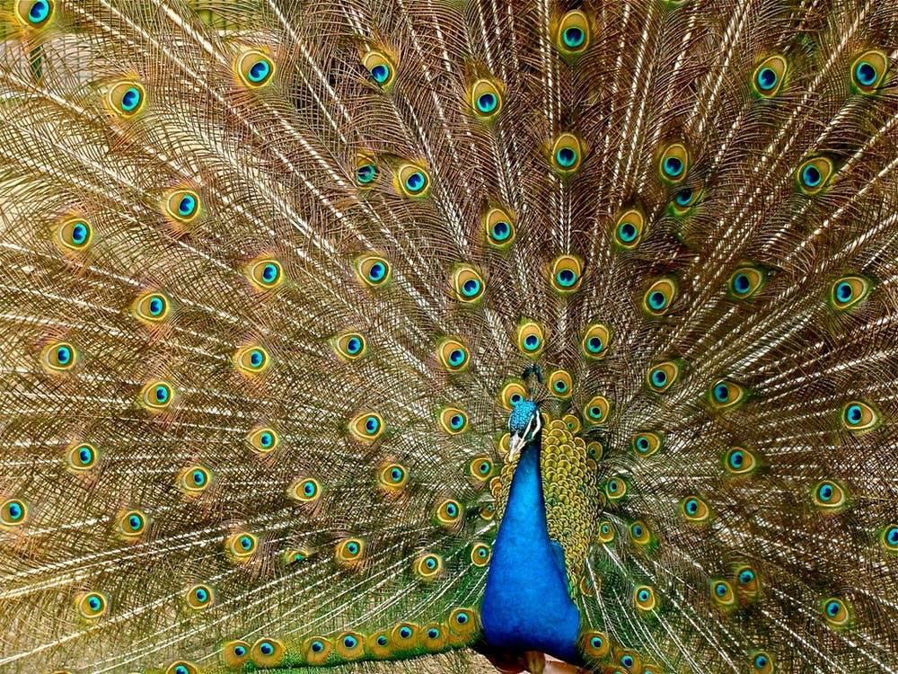 peacock-plumage-bird-peafowl-45911