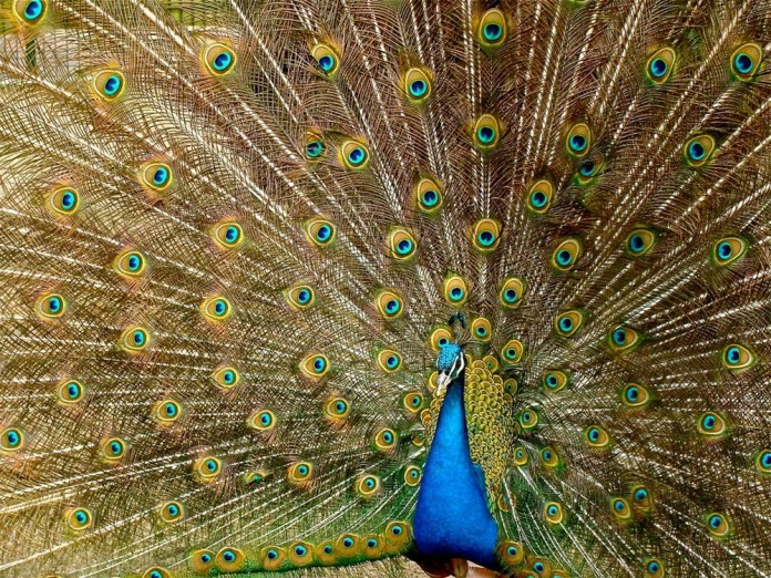 peacock-plumage-bird-peafowl-45911