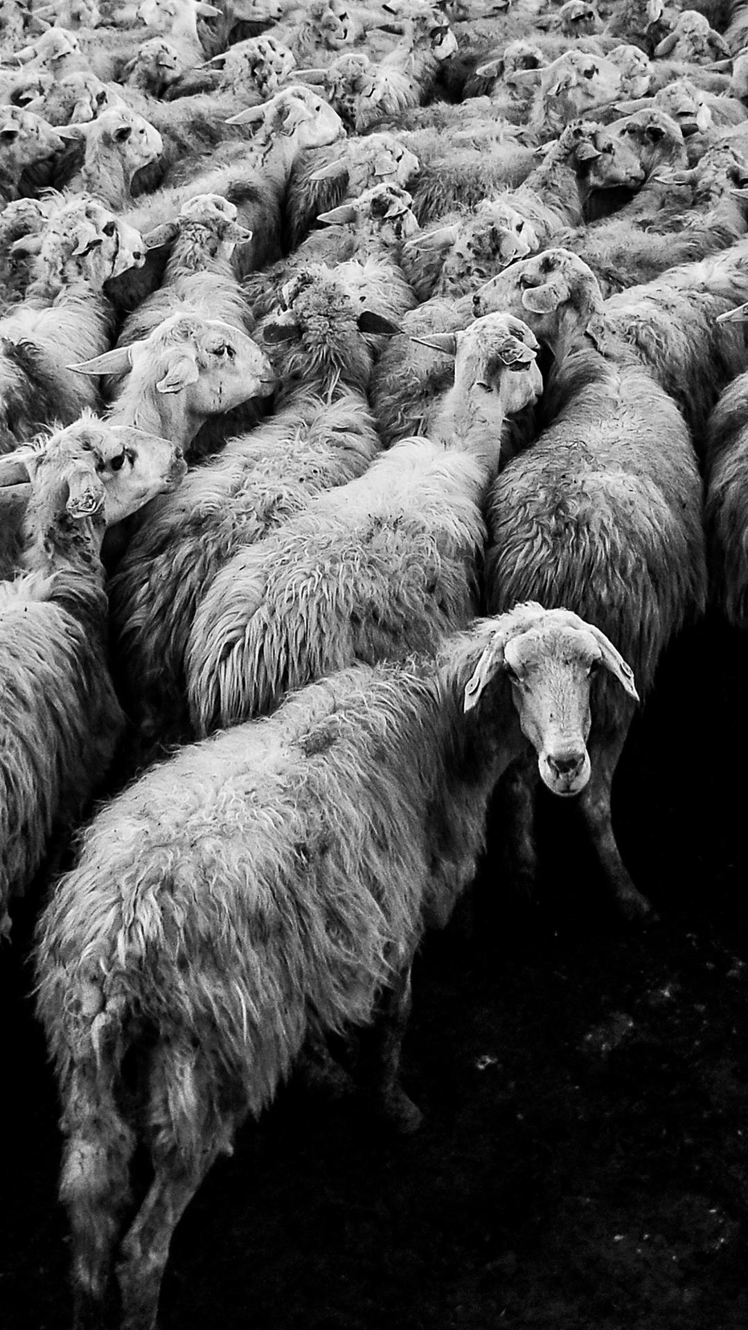 sheep-4457