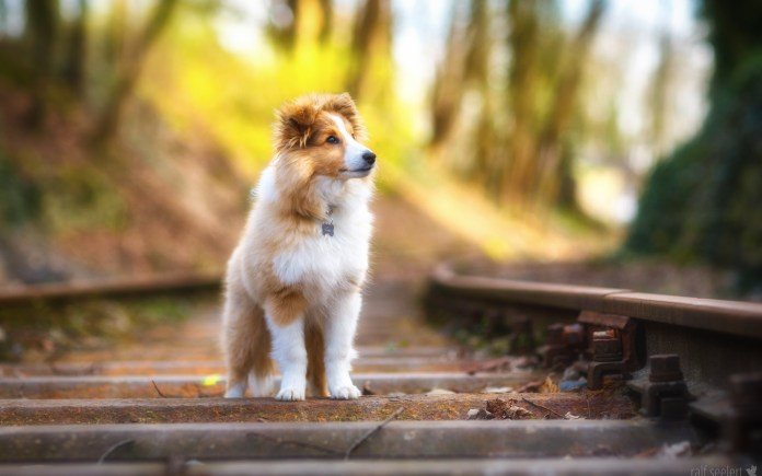 shetland_sheepdog_4k-wide