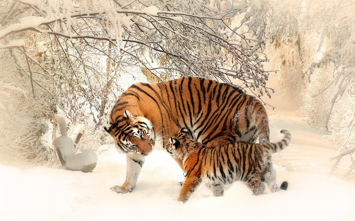 tiger_baby_family_4k-wide