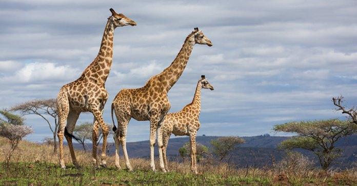girafas-na-africa-do-sul