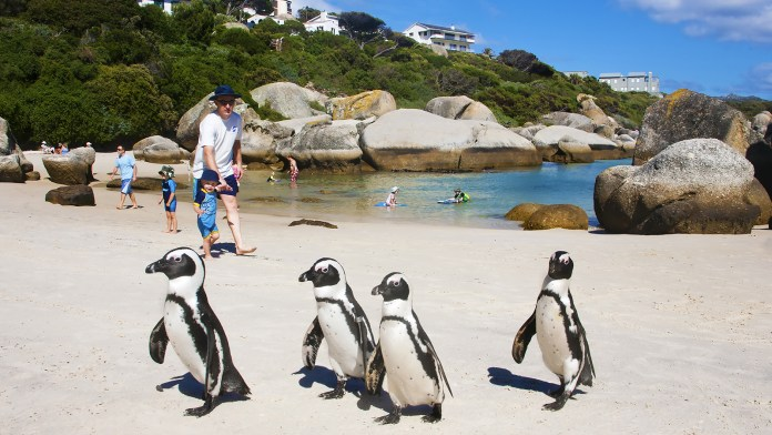 south-africa-penguins.ngsversion.1412613573933