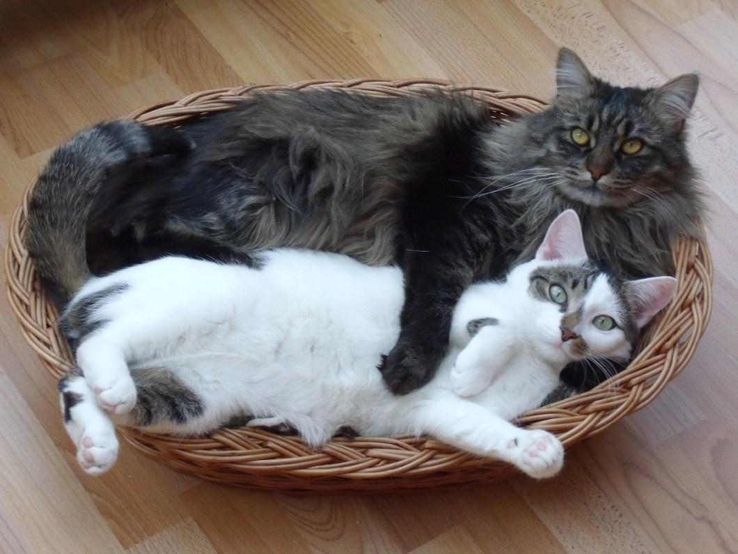 I gatti non s'innamorano: seguono le leggi della natura, non si accoppiano per amore ma per riprodursi.