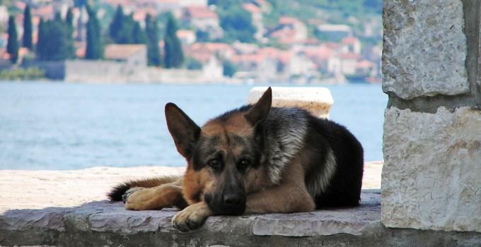 Il cane d'estate deve avere un riparo all'ombra