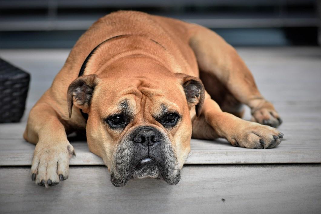 Come faccio a capire se il mio cane ha un'intolleranza alimentare?