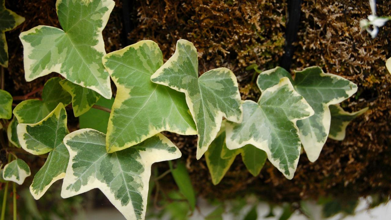 English Ivy Indoor