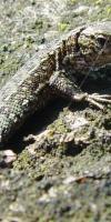 014-Wald-Moor-Bergeidechse-Lacerta-Vivipara-L-Klasing