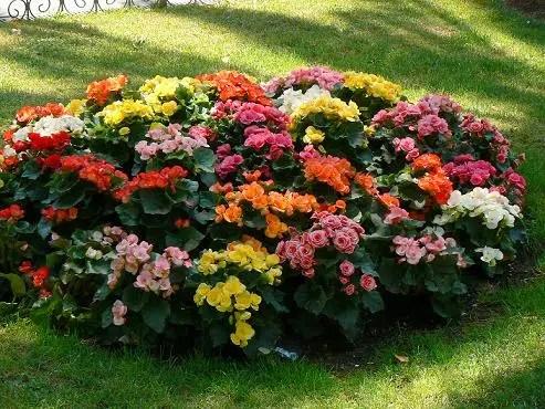Las begonias, belleza y variedad de color todo el año