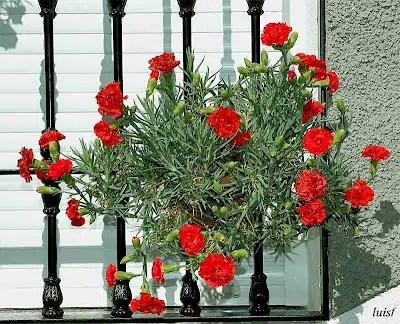 Los claveles, una vistosa flor para nuestras ventanas y balcones