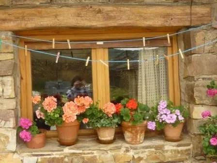 Los geranios, una planta resistente y decorativa
