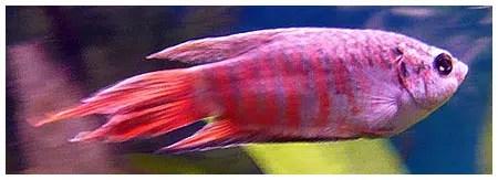 Un pez insociable pero de gran belleza: el pez paraíso